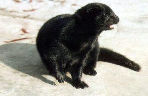 Madihah Trading cruelty free mink eyelashes wholesale in china.